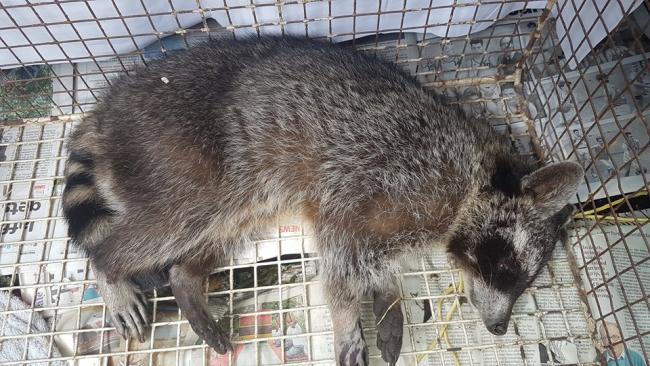 Raccoon put down by wildlife hospital after being found on A338