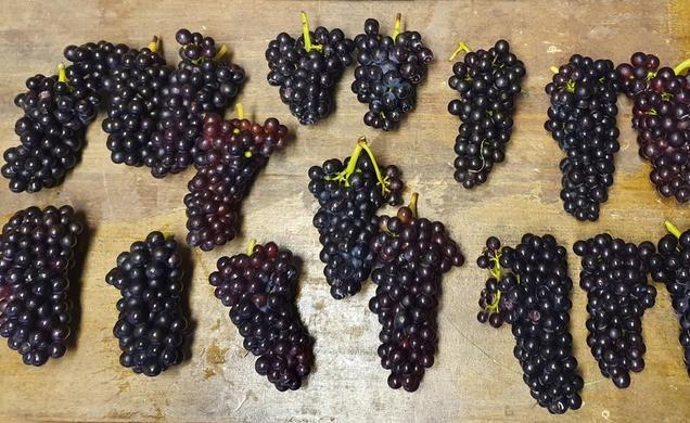 Bluestone Vineyard grape harvest begins at Cholderton Rare Breeds Farm