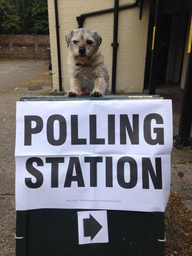 Dogs at polling stations - Dusty the border terrier in Salisbury