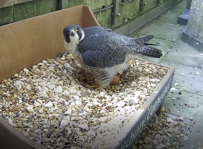 The peregrine with its egg at Salisbury Cathedral