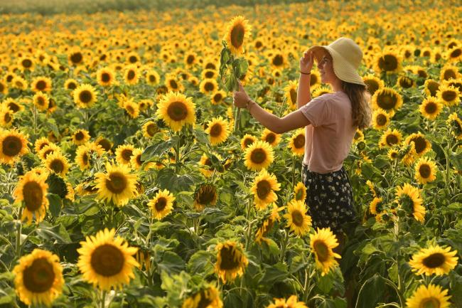 Enjoying the sun drenched fields of sunflowers, Kirsten Reed from Fording-bridge takes time out to enjoy a little painting amongst some of the eight varieties Picture by Russell Sach