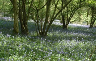 The bluebell wood on the Martin-Cranborne back road.