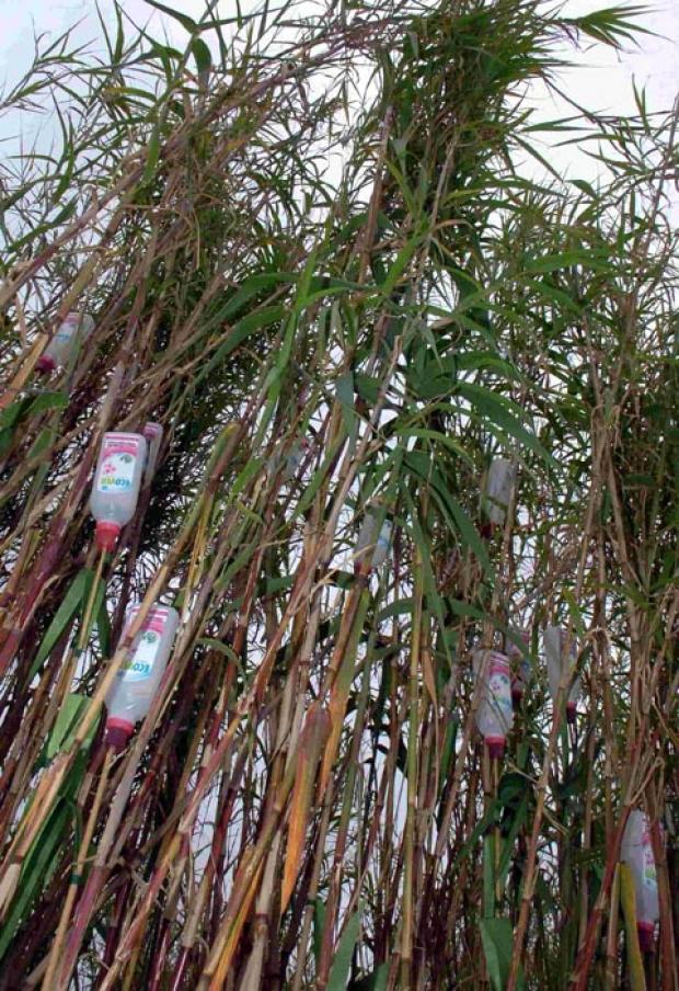 Ecover bamboo at the RHS Hampton Court Flower Show. DC1803P52