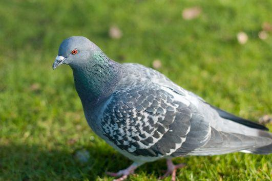Salisbury Journal: Angie in a flutter over 'lost' pigeon