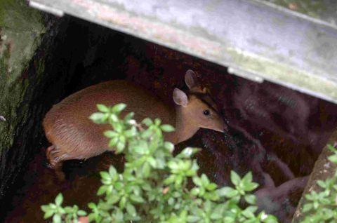 Deer rescued from city centre river