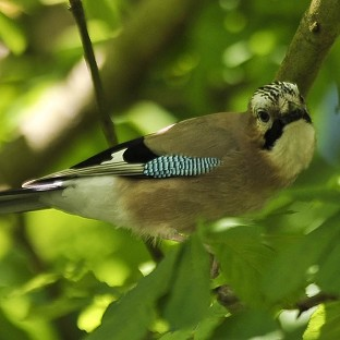 Jays could feature more prominently in people's gardens this year