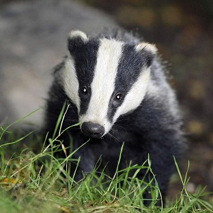 A group of animal disease experts have written a letter to the Observer which argues culling badgers could increase the problem of TB in cattle