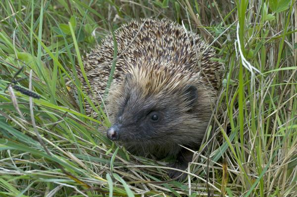 Residents urged to join hedgehog survey