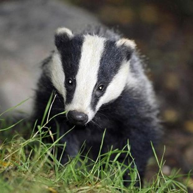 Salisbury Journal: Policing costs for the badger cull were way over the estimate