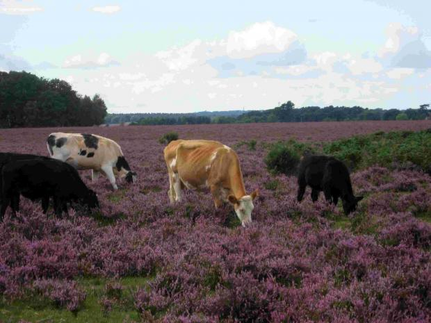 Salisbury Journal: Cows graze on the forest