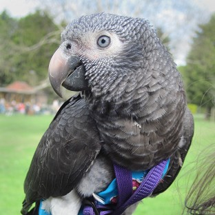 Wunsy the African grey parrot which saved his owner after she was pushed to the ground in a park.
