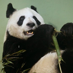 Tian Tian failed to mate naturally so has been artificially inseminated