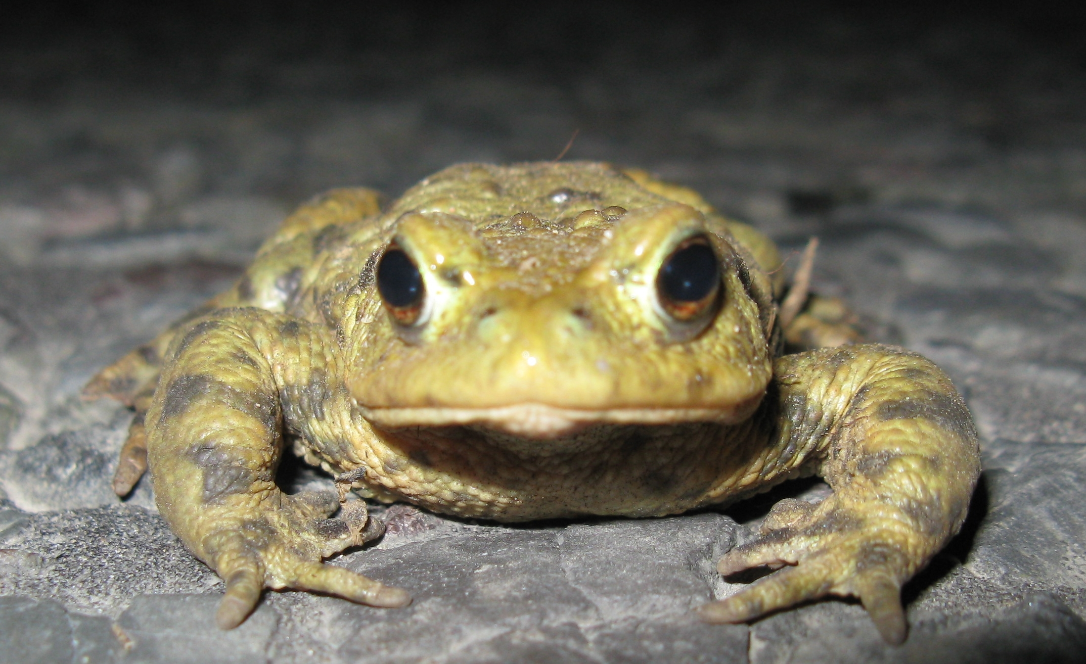 Toads in decline in Hampshire