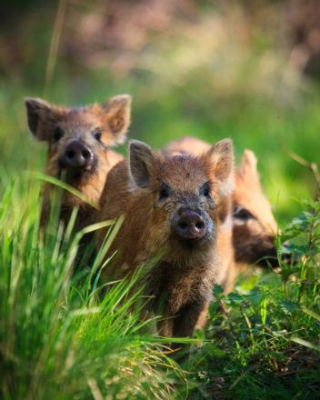 Wild boar return to the forest