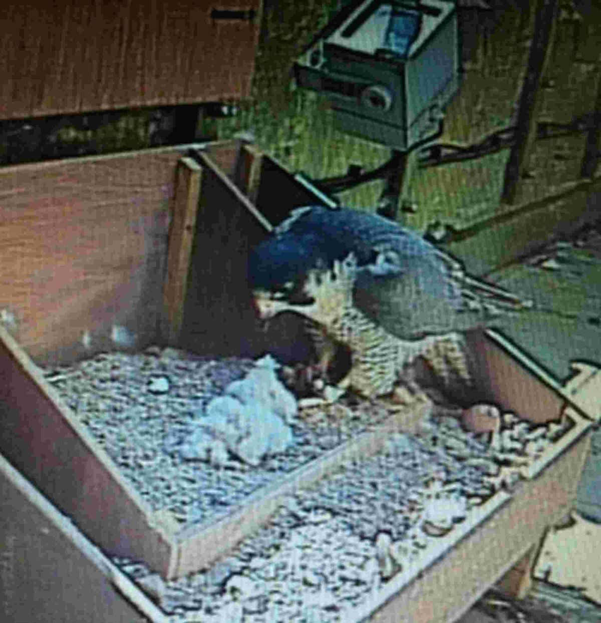 Peregrine chicks hatch at cathedral