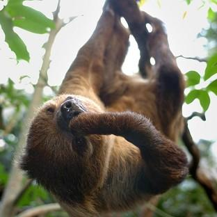 Salisbury Journal: A sloth at London Zoo's Clore Rainforest environment