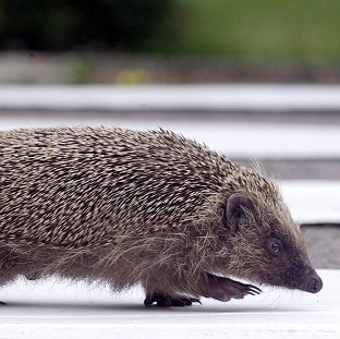 Hedgehog-friendly garden revealed