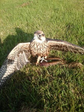 Larry the lanner falcon