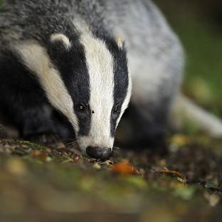The Badger Trust sought a court ruling to block a new cull in Gloucestershire and Somerset without an independent expert