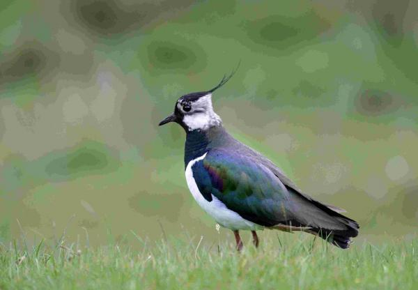 Charity secures funds to safeguard lapwing