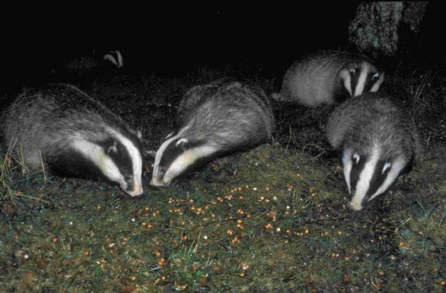 HSI claims to have been told the pilot badger culls have fallen short of their minimum targets