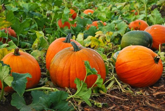 Business is booming for Dorset pumpkin patch this Hallowe'en despite pandemic  (All images: Dorset Country Pumpkins).