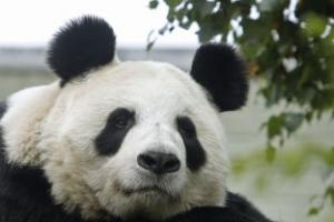 Edinburgh Zoo giant panda artificially inseminated