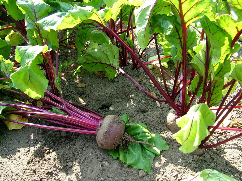 The humble beetroot brings Martin joy all year round