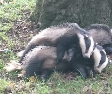 Three dead badgers piled near a tree in Lyneham,Wiltshire